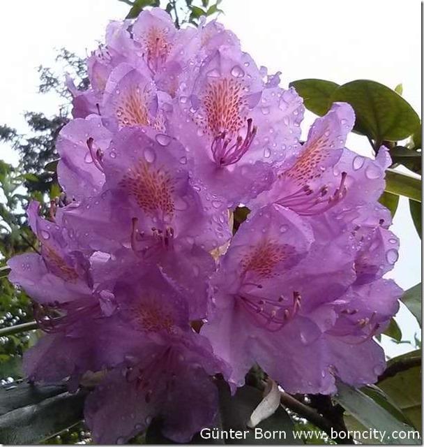Rododendron-Regen